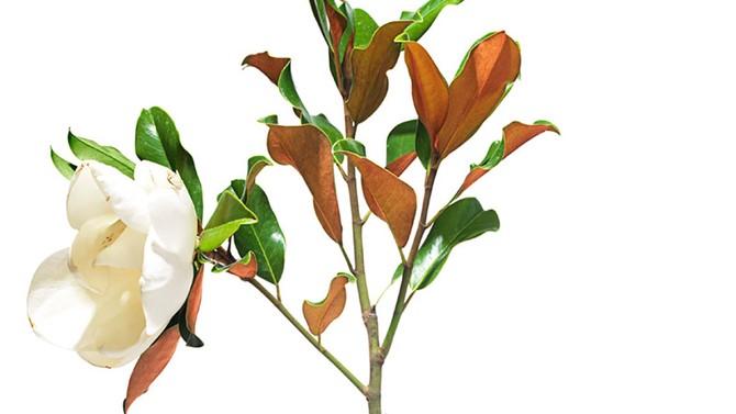 Seeds Of Life Baby Magnolia Tree