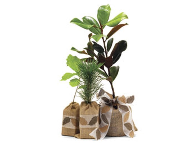 The Magnolia Company tree seedlings