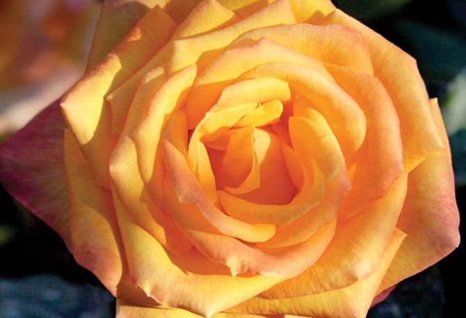 Chris Evert rose