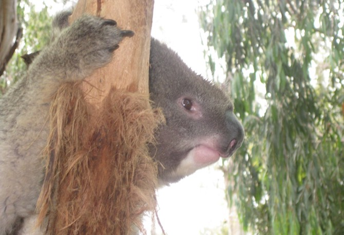 Benny the Koala at Healesville Sanctuary in Australia